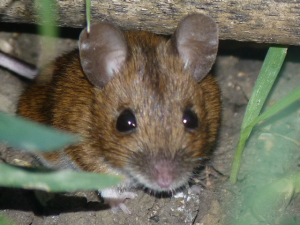 Wood Mouse ?