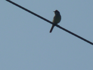 WhiteThroat ?