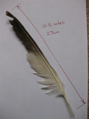 Red Kite feather?