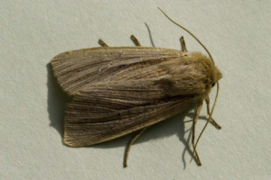 Common Wainscot.