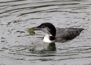 Great Northern Diver.