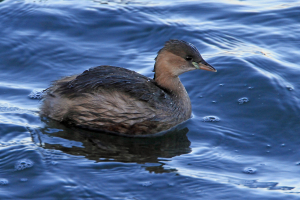 Little Grebe2
