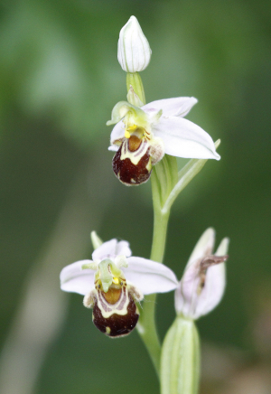 Bee Orchid1