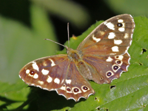 Speckled Wood1