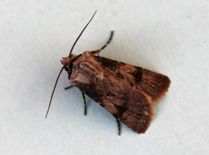 Unknown moth1