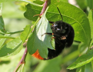 Red-tailed Bumble-bee