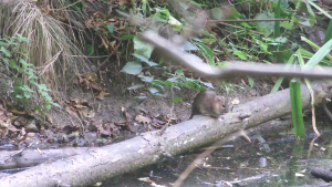 water vole or rat?