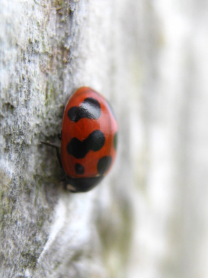 Ladybird Species