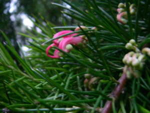 conifer-like shrub