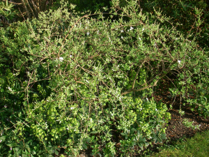 arching shrub