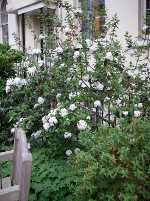 fragrant shrub