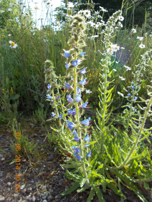 Viper's Bugloss in west London