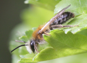 Andrena species at Tudeley RSPB