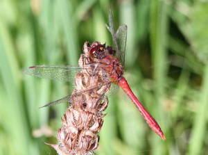 Darter at Holborough