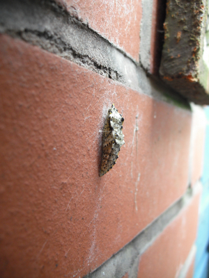 Chrysalis / pupa on brick wall
