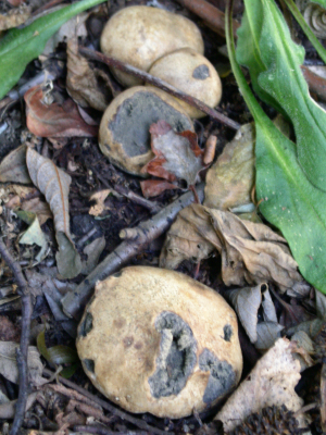 Common Earthball