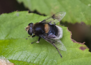 Broads Hoverfly 3