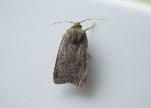 Yellow Underwing sp