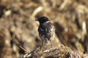 Continental Stonechat