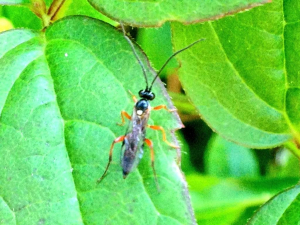 Ichneumon type wasp