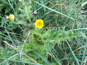 Spiky sow-thistle type