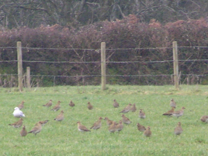 Flock of Golden Plover?
