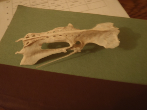 skull of a mammal/bird/fish?