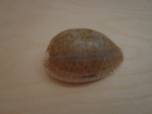 large cowrie