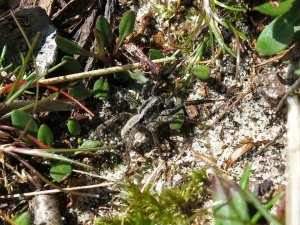 Spider on Studland Heath