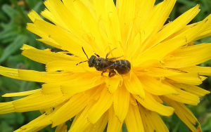 Bee in Rough Hawkbit