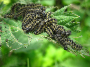 unknown caterpillars