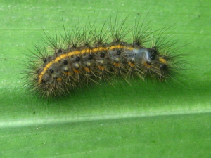 unknown catterpillar