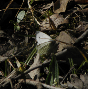 Green Veined White?