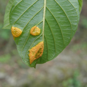 orange growth on alder buckthorn