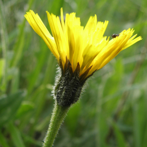 rough hawkbit