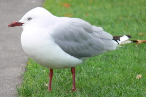 New Zealand Red-billed Gull