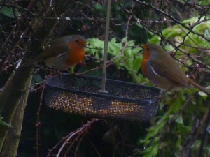 Mating seasons for robins already?