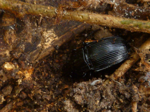 Ground Beetle?