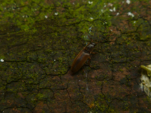 Softwing Beetle?