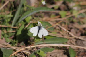 Small White Butterfly (11)