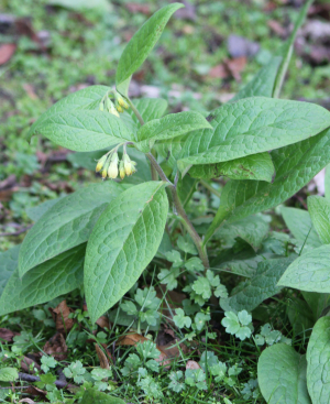 Possibly Comfrey?
