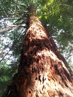 Is this a Giant Redwood?