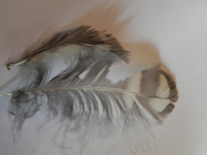 Little owl feather