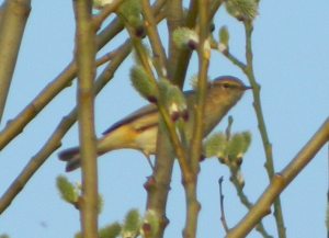 Chiffchaff or Willow warbler?