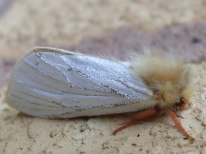 is this weird critter a ghost moth