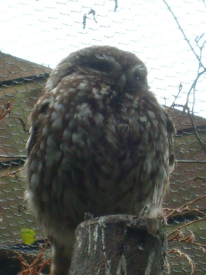 is this a little owl
