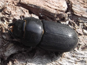 is this a lesser stag or a female common stag beetle