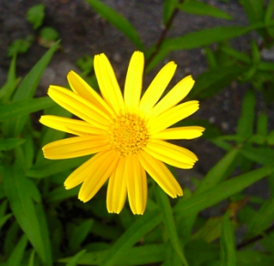 Garden Escape marigold-like plant??
