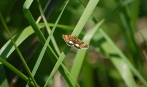 : Small Yellow Underwing (Panemeria tenebrata)