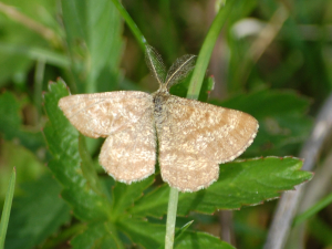 Common Heath (Ematurga atomaria)
